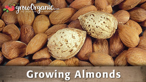 Growing Almonds