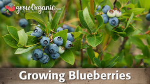 Planting & Growing Blueberries