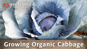 Growing Organic Cabbage