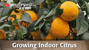 Growing Citrus Trees Indoors