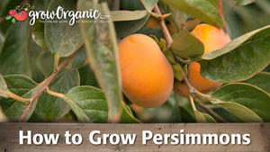 Growing Persimmons