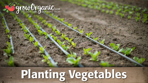 How to Plant Vegetable Starts