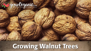 Growing Walnut Trees