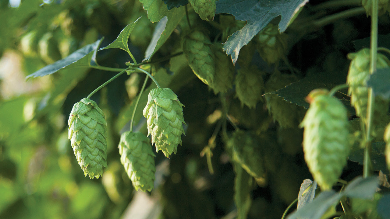 Site Selection and Trellis Design for Hops