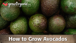 How to Grow Avocados