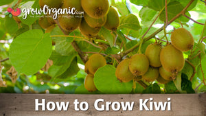 How to Grow Kiwi