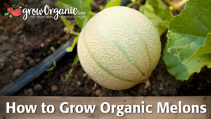 How to Grow Organic Melons