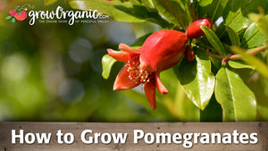 How to Grow Pomegranate