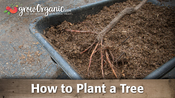How to Plant a Bare Root Fruit Tree in Your Garden or Orchard