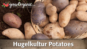 Hugelkultur Potatoes