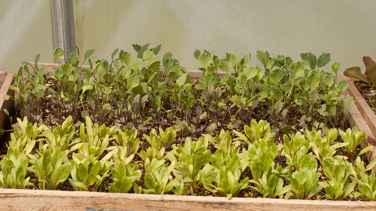 No Garden? No Problem! Grow Microgreens