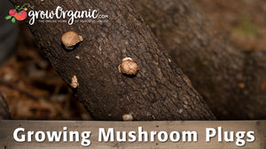 How to Grow Mushrooms from Plugs