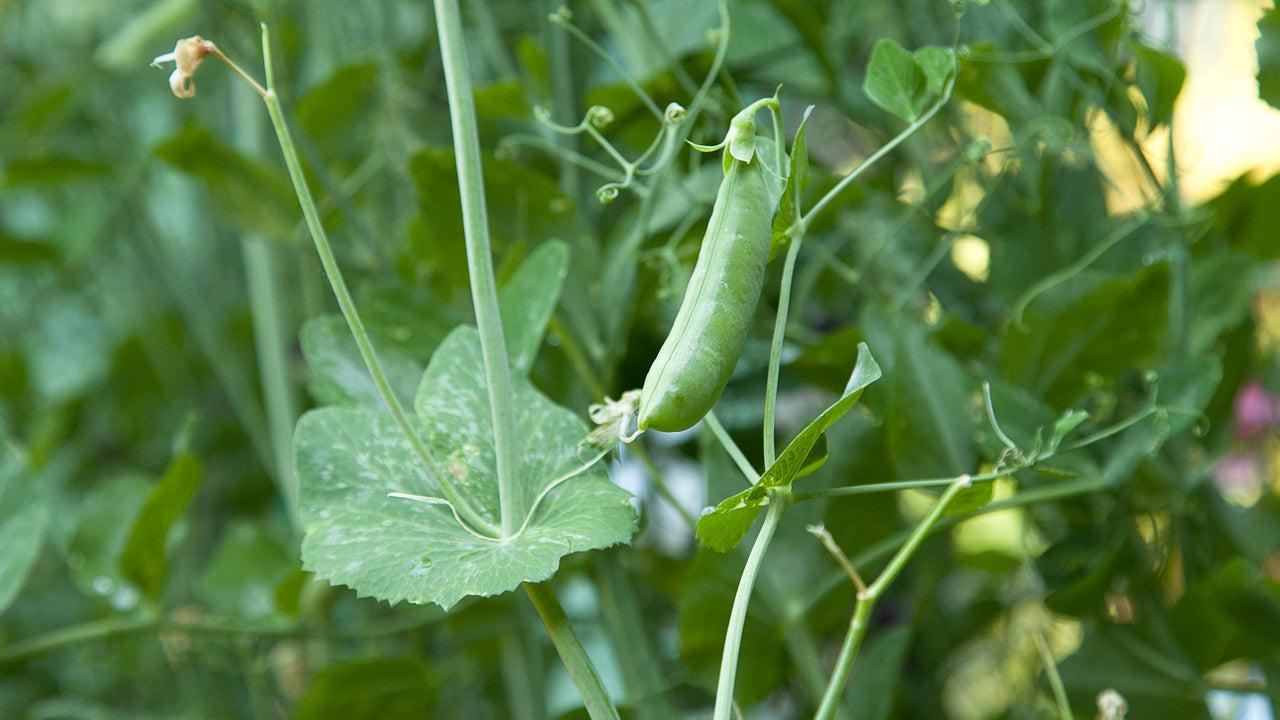 Pea Pathologies and How to Fix Them