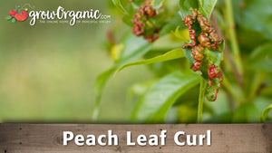 How to Treat Peach Leaf Curl in Your Organic Orchard