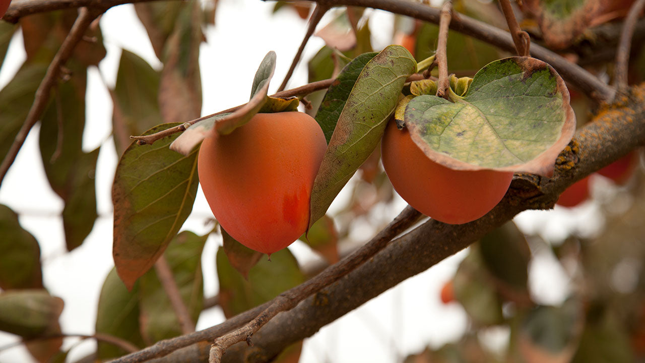 All About Growing Persimmons