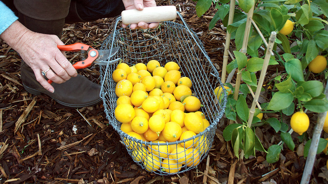 How to Grow Meyer Lemons and Other Citrus Trees in Containers