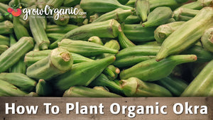 How to Plant Organic Okra