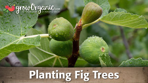 Planting a Potted Fig Tree