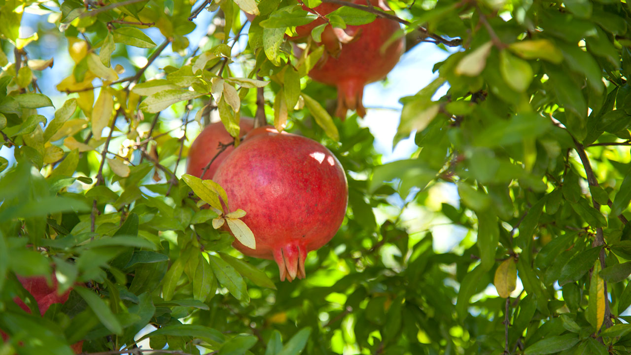 Grow a Pomegranate Tree!