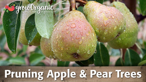 How to Prune Apple Trees and Pear Trees