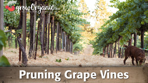 Winter Pruning Grape Vines