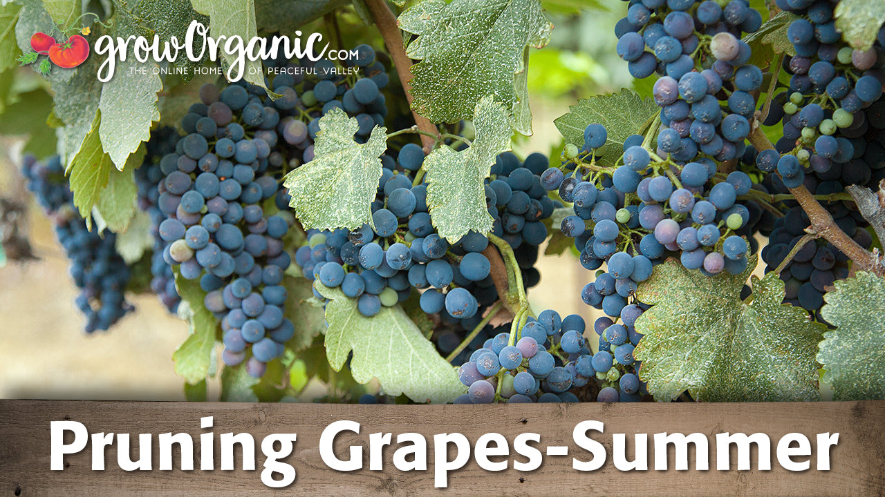 How To Prune Grapes In The Summer Organic Gardening Videos Grow
