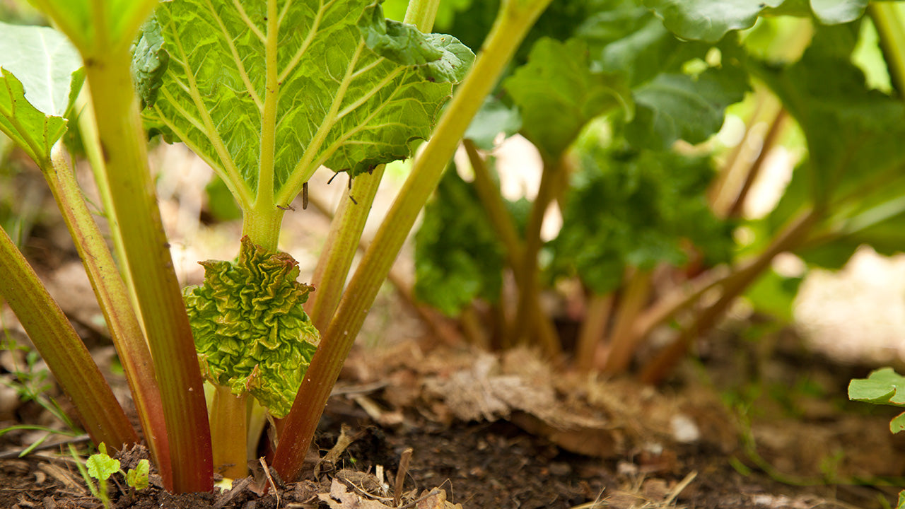 Planting & Growing Rhubarb