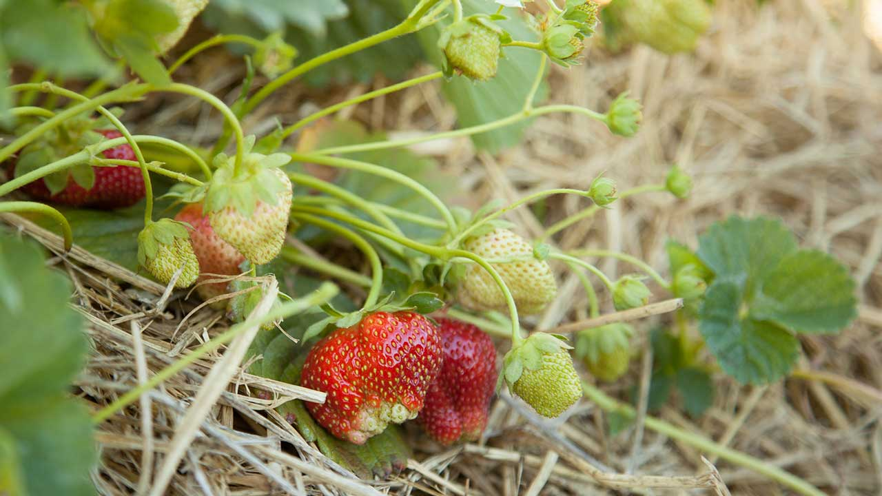 How to Renovate, Renew & Maintain a Strawberry Bed