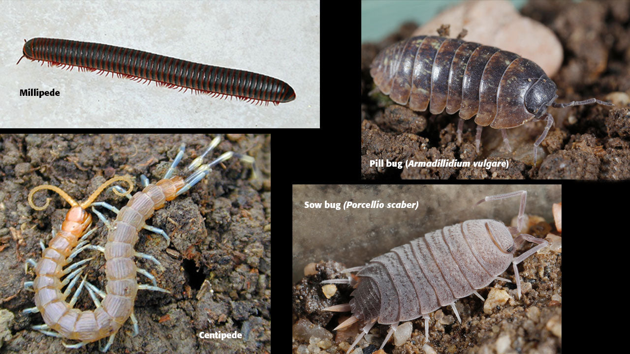 Millipedes, Centipedes, Sowbugs & Roly-Polys - Friend or Foe?