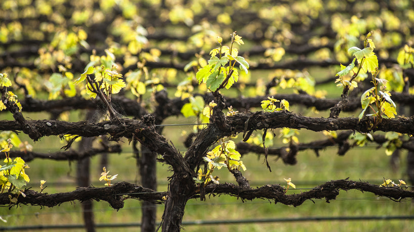 Tips on Spur and Cane Pruning Your Grape Vines