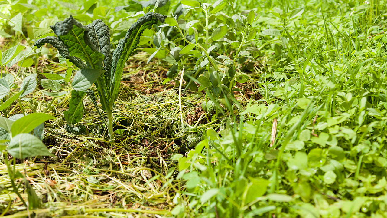 Grow Cover Crops and Green Manure in the Summer