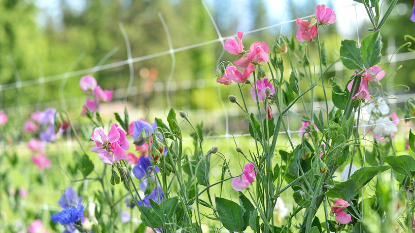 How to Grow Sweet Peas In the Garden