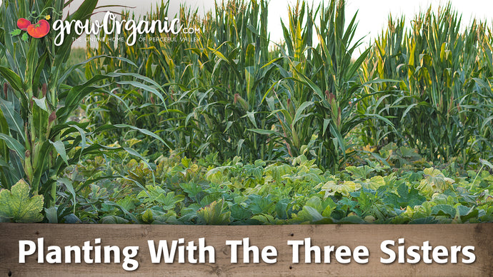 Planting Corn, Squash and Beans Using The Three Sisters Method