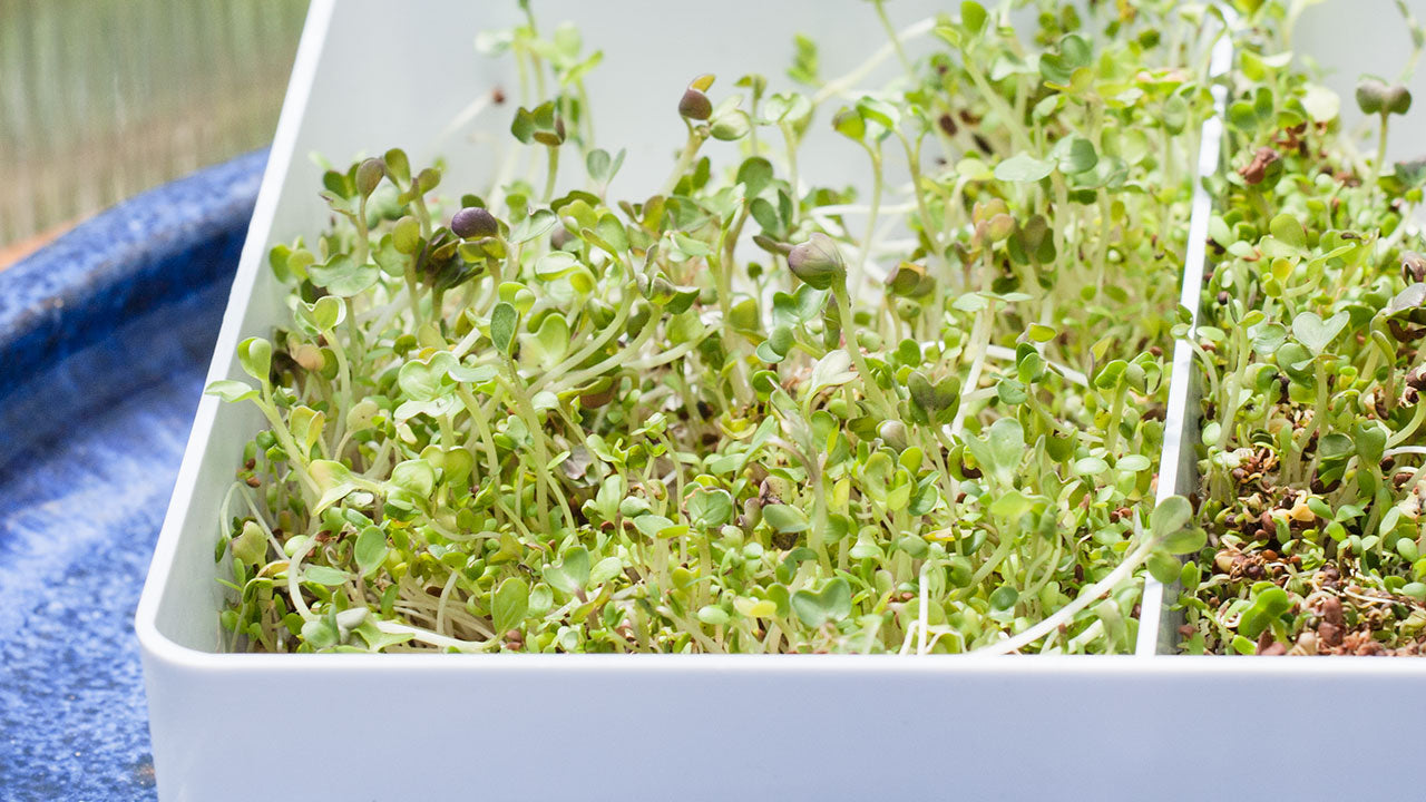 Sprout Seeds at Home for Good Flavors & Good Nutrition