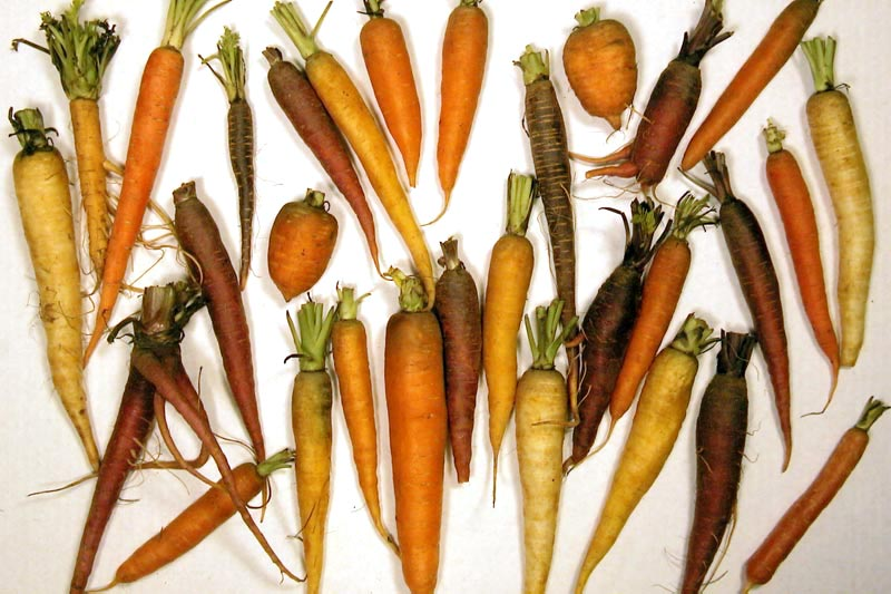 picture of diversity of carrots
