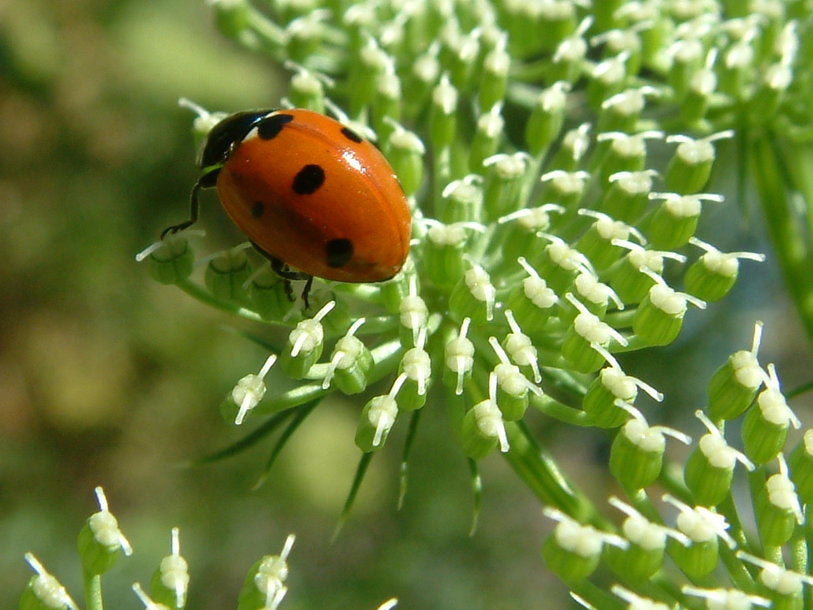 Hedgerows provide homes for ladybugs