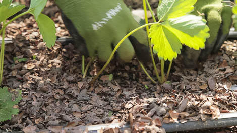 mulch and stems
