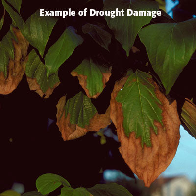 Drought stress in plants