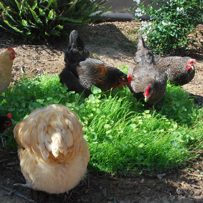 Chickens eating Omega 3 Forage Blend