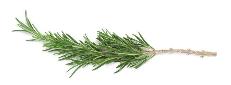Trimmed Rosemary Cutting