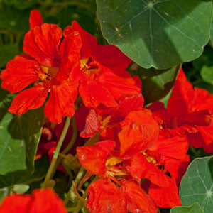 dwarf jewel nasturtium for edible landscapes