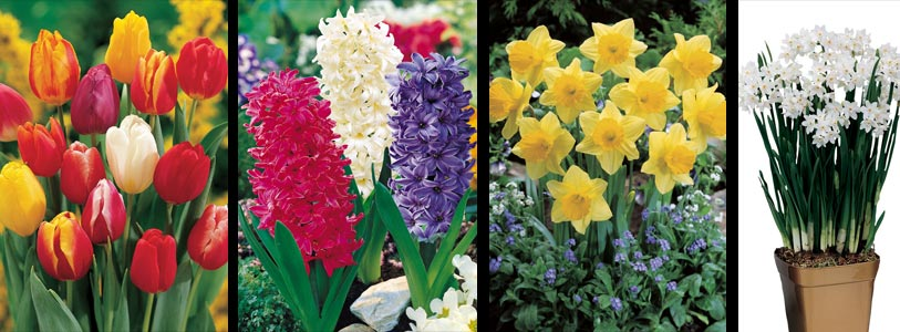 bulbs for forcing