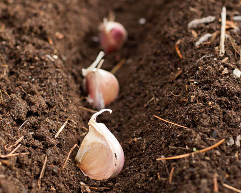 planting garlic in furrows