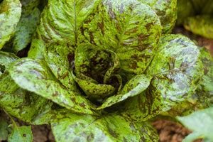 freckles lettuce for edible landscapes