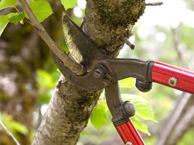 pruning a small branch