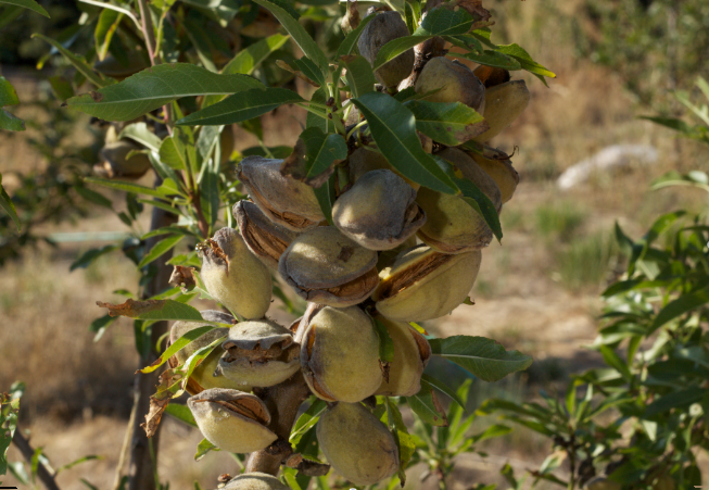 These Almonds are Ready to Harvest