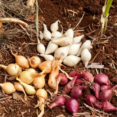 growing onions from sets