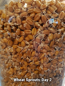 wheat sprouts for chickens