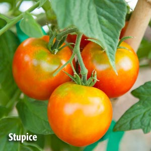 Stupic tomato from PVFS Tomato Project