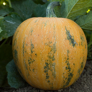 Organic Pumpkin, Lady Godiva (Hull-Less)
